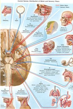 anatomy and physiology from the nerves in the brain. Treatment plans and patient handouts for the OT working with physical disabilities and geriatrics. Brain Anatomy, Medical Anatomy, Human Anatomy And Physiology, Body Anatomy, Dental Anatomy, Cranial Nerves Anatomy, Anatomy Study, Nursing Students, Nursing Schools
