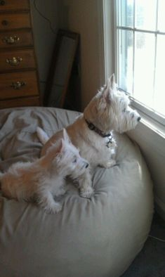 West Highland White Terriers - these two look just like my Paddy and Lady from childhood. Amanda by katharine