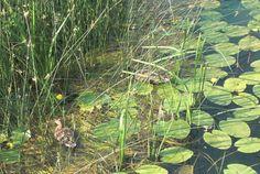 Lokvanji  (Nuphar lutea) jwllow water lilies in the River of Mrežnica near the town of Duga Resa, Croatai - Croatia abounds in acquatic lands