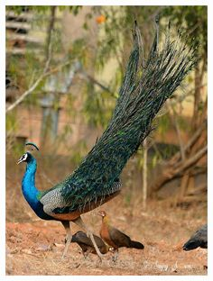 Indian Peafowl and Red Jungle Fowl
