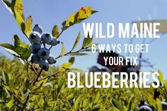 Wild blueberries at Hart's Clary Hill Farm in Union. Link to Maine wild blueberry products!