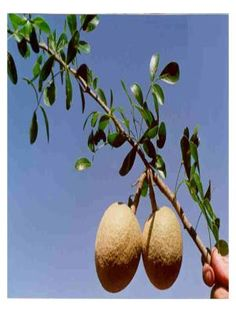 """Wood apple is mostly found in South Asia. It is also known as Limonia.  In India it is known as """"keith"""" or """"kath bel"""". In Sanskrit it is called Kapittha."""