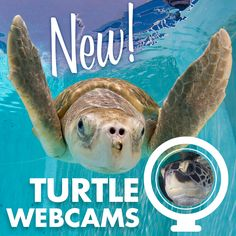 We have recently added a new underwater turtle web cam! Watch rescued sea turtles, Max, Rob and Madam cruise around their beautiful blue water at Sawyer's Passage. #CMAlife