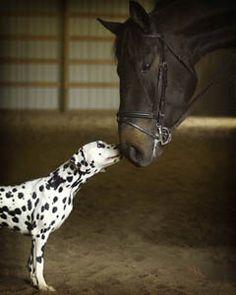 dalmatians and horses