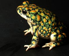 Gorgeous toad! Love the rough skin and those yellow spots.