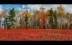 My home town! Blueberry Fields, Oxford, Nova Scotia - the Blueberry Capital of Canada! Places To See, Places Ive Been, Halifax Canada, Capital Of Canada, Atlantic Canada, Prince Edward Island, New Brunswick, The Province, Our World