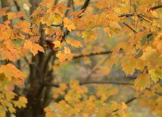 Maple tree  #photooftheday Maple Tree, My World, Gallery, Painting, Art, Roof Rack, Painting Art, Paintings, Kunst