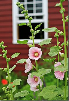 lovely - hollyhocks, one of the few flowers that can survive free range chickens