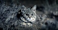 The Deadliest Cat On Earth, Africa's black-footed cat. Weighing in at only three to five pounds, they have a 60% success rate when hunting, which is the highest among all wild cats.