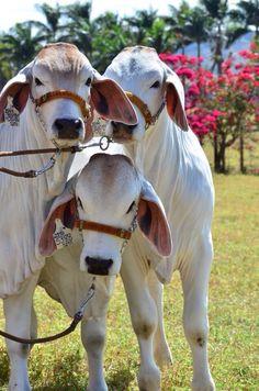 Barn Animals, Barnyard Animals, Animals And Pets, Cute Animals, Cattle Farming, Livestock, Beautiful Creatures, Animals Beautiful, Gado Leiteiro
