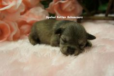 Liver Pepper Teacup | Toy Schnauzer. photo taken by spoiled rotten schnauzers