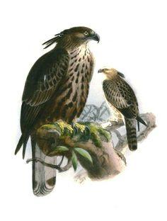 Aigle huppé - Nisaetus cirrhatus