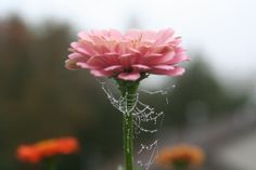 Spider web on a pink flower