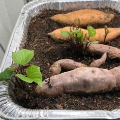 Sprouting Sweet Potatoes, Growing Sweet Potatoes, Growing Carrots, Planting Potatoes, Growing Vegetables, How To Plant Potatoes, Growing Tomatoes, Sweet Potato Plant Vine, Sweet Potato Seeds