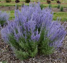 Perovskia atriplicifolia Denim 'n Lace Denim 'n Lace Russian Sage from Prides Corner Farms Fall Perennials, Deer Resistant Perennials, Sage Plant, Plant Pots, Russian Sage, Short Plants, Drought Tolerant Landscape, Malva, How To Attract Hummingbirds