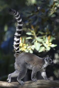 Ring-tailed lemur by Official San Diego Zoo, via Flickr