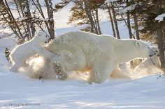 The polar bear leaves the insulation with baby for the first time by Daisy Gilardini