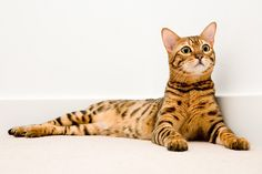 George and Millie Bengal Cat Story - Love Meow