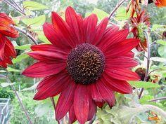 Helianthus (zonnebloem)