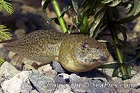 picture of bullfrog tadpole