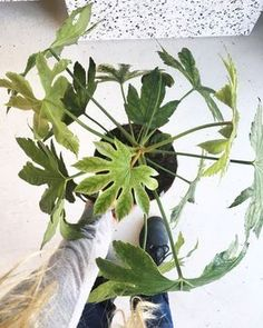 Jardin Plantes Graines Hiver Dure zierpflanze semences vivace Torche-Lily exot