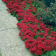 Amazing Garden Lilies - Dragon's Blood Sedum