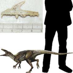 El Agnosphitys fue un pequeño dinosaurio de unos 70 centímetros, carnívoro que vivió en el último periodo del Triásico, se trata de un saurisquio guaibasáurido. Su nombre significa raza desconocida o incierta. Sus restos se encontraron en una mina de Inglaterra. Longitud: 70 cm. Encontrado en Inglaterra