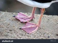 Bilderesultat for seagull legs