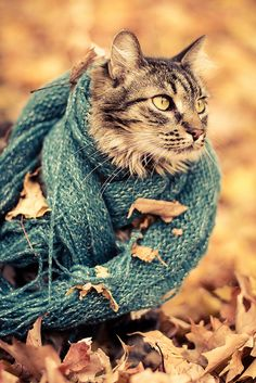 {Merlin the Maine Coon} cat + scarf + autumn leaves = awesome