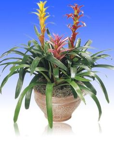 How to Feed Bromeliads: A well-fed bromeliad garden will have deeply colorful leaves and bright, attractive flower bracts.