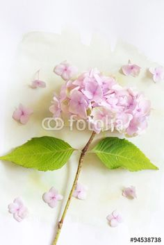 """Download the royalty-free photo """"Subtle artistic floral backgrodund with hortensia flowers"""" created by JulietPhotography at the lowest price on Fotolia.com. Browse our cheap image bank online to find the perfect stock photo for your marketing projects!"""