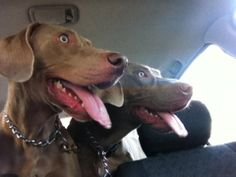 A day in the life of two spoiled weimaraners