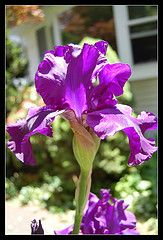 I love love LOVE irises!! The really dark purple ones smell like grape jelly..Don't know why, but it's sweet!