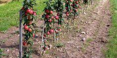 Growing columnar apple trees: the secrets of crop