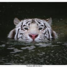 Swimming in cold water