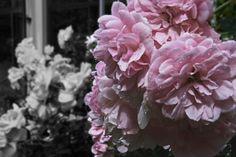 Bonica roses Kristy Edwards