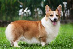 Corgi Puppies- oops, this is the article I was talking about. @marimopeacock @epbrandes @lizzie1057 @letthesunshinne