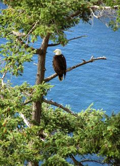 bald eagle, Saturna Island, BC Salt Spring Island Bc, Bald Eagles, Vancouver Island, Canada Travel, Hawks, British Columbia, Islands, Wildlife, Around The Worlds