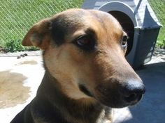 Sweetie URGENT! is an adoptable German Shepherd Dog Dog in Cadiz, OH. SWEETIE IS A STRAY AND WILL BE UP FOR ADOPTION ON SEPTEMBER 10TH IF NOT CLAIMED BY HER OWNER.� HARRISON COUNTY DOG POUND, 28900 To...
