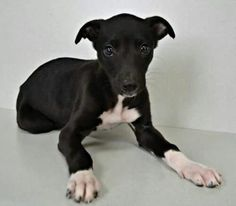 Sweet Avi is home forever in AZ with another greyhound and a couple of horses for buddies!