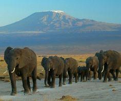 Elephants at the Amboseli National Park against the Mt Kilimanjaro, Kenya.