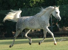 light grey dapple horse - Google Search