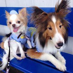 おはようございます。 昨日は暑かったから、いつものところで のんびりランチでした 涼しくなってから、お気に入りのランでフリータイム💕 ママ〜、ありがとうU^ェ^U  #ワンコ #愛犬 #犬 #いぬ #チワワ #ロンチー #シェルティー #シェットランドシープドッグ #chihuahua #chihuahualove #sheltie #shetlandsheepdog #sheltielove #dog #pet #dogstagram #petstagram #かわいい #sunnydayscafe #peton #湘南 #かわいい #ワンコとお出かけ