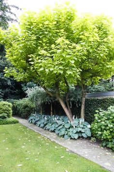Catalpa Tree Seed Evergreen Shrub Tropical Ornamental Plant Garden Home Small Gardens, Outdoor Gardens, Chlorophytum, Landscaping Plants, Landscaping Design, Evergreen Shrubs, Ornamental Plants, Garden Landscape Design, Garden Trees