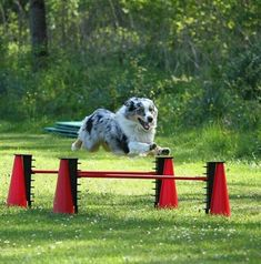 The Shetland Sheepdog originated in the and its ancestors were from Scotland, which worked as herding dogs. These early dogs were fairly Australian Shepherd Red Tri, Australian Shepherd Training, Aussie Shepherd, Shepherd Puppies, German Shepherds, Blue Merle, Aussie Puppies, Dogs And Puppies, Husky