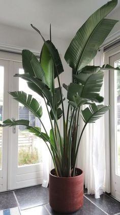 XXL Strelitzia Nicolai The Effective Pictures We Offer You About house plants decor wood A quality picture can tell you many things. Big Indoor Plants, Large Plants, Indoor Garden, Potted Plants, Home And Garden, House Plants Decor, Plant Decor, Plantas Indoor, Birds Of Paradise Plant