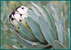 Niobe - Protea neriifolia x laurifolia
