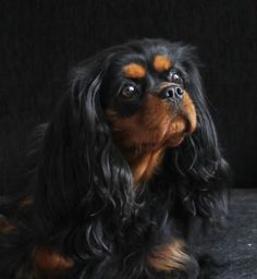 Beauty Black and Tan Cavalier King Charles Spaniels