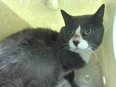 NYACC ** URGENT**  TO BE DESTROYED 7/17/14 Manhattan Center  My name is MC. My Animal ID # is A1006353. I am a male gray and white domestic sh mix. The shelter thinks I am about 6 YEARS old.   https://m.facebook.com/photo.php?fbid=831851440160023&id=155925874419253&set=a.576546742357162.1073741827.155925874419253&source=56