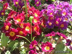 Primeln in meinem Garten #flowers #gardening #spring